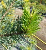Pinus sylvestris Gold Coin