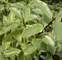 Pittosporum tenuifolium Collaig Silver