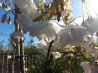 Prunus Fragrant Cloud