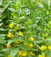 Spotted Loosestrife (Lysimachia punctata)