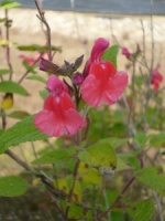 Salvia microphylla (grahamii)
