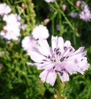 Sidalcea reptans William Smith