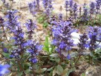 Ajuga Chocolate Chip (Valfredda)