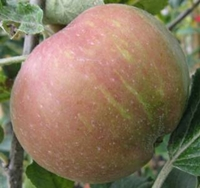 Norfolk Beefing Apple