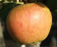 Pignose Pippin Apple