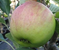 Red Falstaff Apple