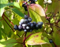 Cornus amomum Blue Cloud