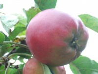 Crimson Queening Apple
