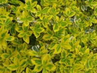 Euonymus fortunei Emerald`n`Gold