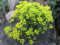 Euphorbia cyparissias Fens Ruby
