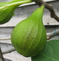 Fig White Marseilles