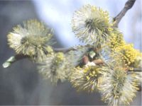 Bare Root Goat Willow - Salix Caprea