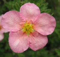 Potentilla fruticosa Princess