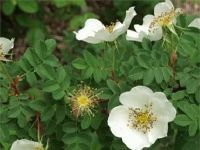 Scots Rose - Rosa Spinosissima
