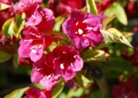 Weigela Moulin Rouge